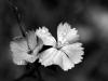 03-08-Ghislaine fleur NB